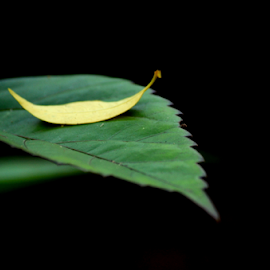 A fallen leaf by Pradeep Krishnan - Nature Up Close Leaves & Grasses ( yellow leaf, abstract leaf, nature, leaf, leaves )