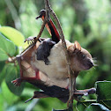 Lesser Asiatic Yellow House Bat (with Pup)
