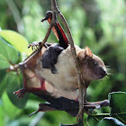 Luzon Fruit Bat (with Pup)