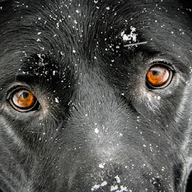 Eyes in the Snow by Lori Louderback - Animals - Dogs Portraits ( dog, lab, eyes,  )