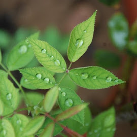 The Water Drops  by Alankrit Sharma - Nature Up Close Leaves & Grasses