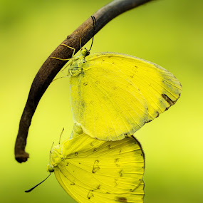 The Yellow Couple  by Ade Yuda - Animals Insects & Spiders ( butterfly, mating, insect )