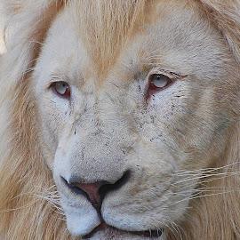 by Ivan Marjanovic - Animals Lions, Tigers & Big Cats
