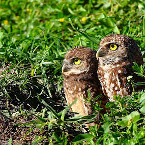 Owl times two by Pablo Barilari - Animals Birds ( owl, bird couple, birds )