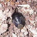 Burrowing Bug