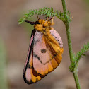 Sheep Moth