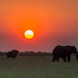 Chobe Sunset by Dave Gale - Animals Other Mammals ( chobe, botswana, silhouette, elephant, sunset, golden hour, sunrise )
