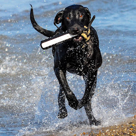 Lake Erie Fun by Rob Ebersole - Animals - Dogs Playing ( labrador retriever, gracie )