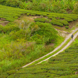 Greeny Road by Yasser Abusen - Nature Up Close Gardens & Produce ( mountain, green leaves, green, road, tea trees, tea )