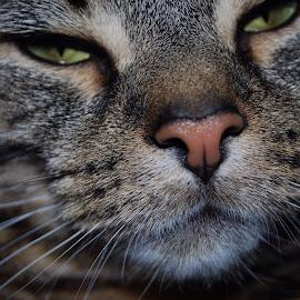 by Amanda Hodder - Animals - Cats Portraits