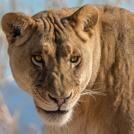 Lioness staring intently  by Joe Neely - Animals Lions, Tigers & Big Cats ( lion, staring, hungry, eyes, lioness staring intently )