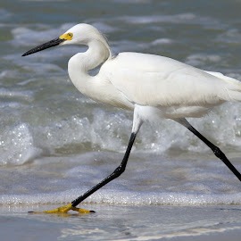 Snowy Egret by Sandra Blair - Animals Birds ( bird, wading bird, florida, snowy, beach, surf, egret,  )