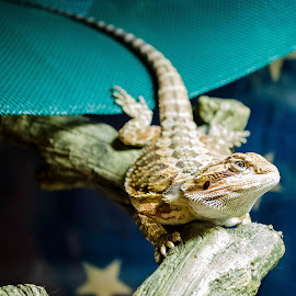 by Todd Sowels - Animals Amphibians ( pet, bearded, amphibian, dragon, reptile, tank, portrait )