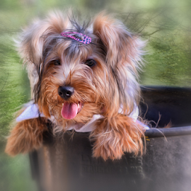 King In the Forest by Ferdinand Ludo - Animals - Dogs Portraits ( yorkie, woods shot, lovely )