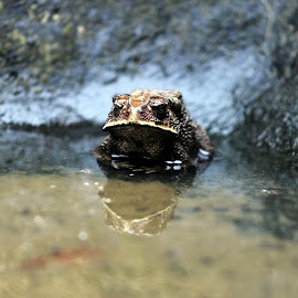 the beast by Moch Syahroni - Animals Amphibians ( reflection, frog, animal )