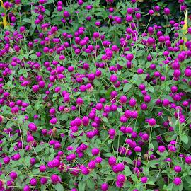 Purple overload - Bachelor's buttons. by Leslie-Ann Boisselle - Novices Only Flowers & Plants ( purple, flowers, blossoms, tropics, shrubs )