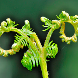 Green growth by Ricardo Costa - Nature Up Close Other plants ( plant, rebento, feto, green, portugal,  )