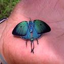 Arcas Tuneta Butterfly
