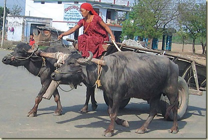 tharu woman with a buffalo-cart