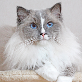 Simba, the Ragdoll lion by Mia Ikonen - Animals - Cats Portraits ( ragdoll, gentle, beautiful, finland, expressive,  )