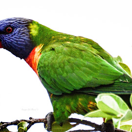 Lorikeets by Sonja De Roos - Novices Only Wildlife