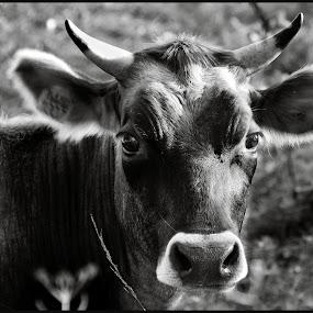 Rundskop by Etienne Chalmet - Animals Other ( animals, nature, outdoor, , #GARYFONGPETS, #SHOWUSYOURPETS )