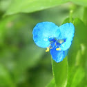 Climbing Dayflower
