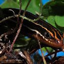 Blue Tailed Skink (Five-lined skink)