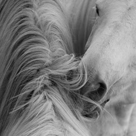 Love and Affection  by Val Brackenridge - Animals Horses ( farm animals, two horses, animals, equine, horses, black and white, pets, ranch animals )