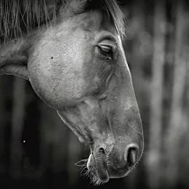 tired horse by Katka Kozáková - Animals Horses ( black and white, horse, tired, evening )
