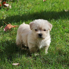 by Theron Smith - Animals - Dogs Puppies ( puppies, grass, green, white, puppy, portrait )