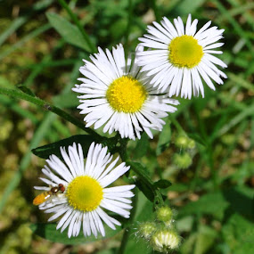 Three Little Daisies by June Morris - Flowers Flowers in the Wild ( flowers in the wild, daisies, three, little, flowers, photography,  )