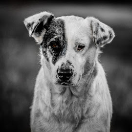 Solitare  by Silviu Suciu - Animals - Dogs Portraits ( detail, animals, sadness, black and white, sad, dog )