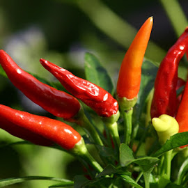Peppers by Norm Fitzgerald - Nature Up Close Gardens & Produce ( peppers, pepper, close up, closeup, produce )