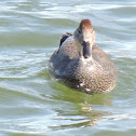 Gadwall Duck (male)