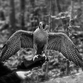 Early Morning by Roy Walter - Black & White Animals ( captivity, animals, black & white, falcon, birds )