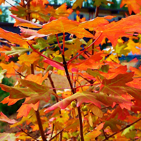by Samantha Linn - Nature Up Close Leaves & Grasses ( fall, color, colorful, nature,  )
