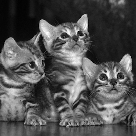 by Cacang Effendi - Black & White Animals ( cats, kitten, cattery, chandra, animal )