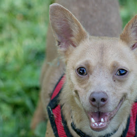 I'm happy by Jessica Williams Bender - Animals - Dogs Portraits ( smiling dog, happy dog, chihuahua, small dog,  )