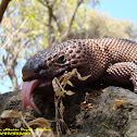 Mexican Gila Monster