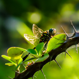 Dragonfly on a Thorn by Monzur Sazid Ahmed - Animals Insects & Spiders ( thorn, dragonfly, cactus )