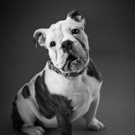 English Bulldog by Leonel Mendez - Animals - Dogs Portraits