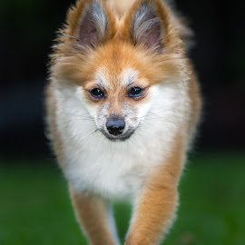 Stalking by Gary Want - Animals - Dogs Puppies ( queensland, yamanto, australia, puppy, willow, dog, pomeranian )