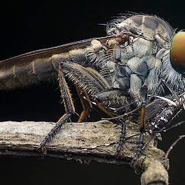 Robber Fly 141207C by Carrot Lim - Animals Insects & Spiders