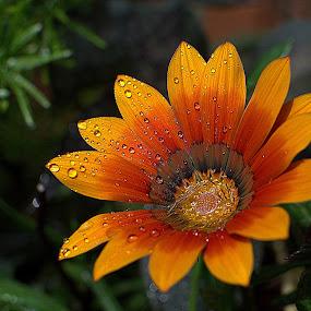 moist bloom by Fred Faulkner - Flowers Single Flower ( orange, dew, daisy, yellow, garden, flower,  )