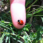 Ladybug, coccinella