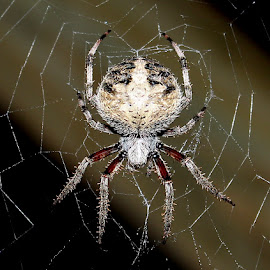 On My Back Porch by Robert C. Walker - Animals Insects & Spiders ( large spider, orb weaver, web, spider, web weaving,  )
