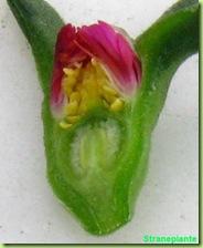 aptenia-fiore-sezione-5