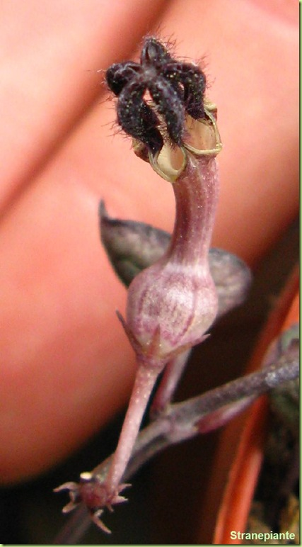 fiore_Ceropegia_woodii