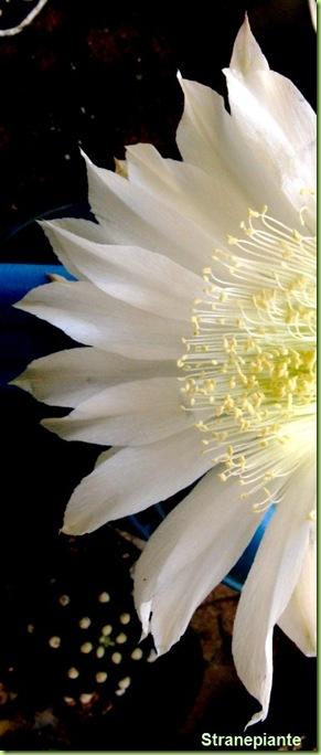 fiore_Echinopsis_subdenudata